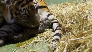 کلیپ زایمان ببر ماده در باغ وحش
