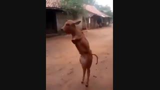 گوساله ای که مثل انسان راه می رود