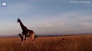 نبرد زرافه و شیر