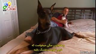سگ دوبرمن و هرچی که لازمه بدونید