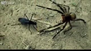 جنگ بسیار تماشایی زنبور سیاه و رتیل