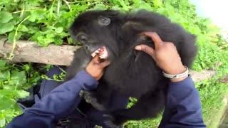 قلقلک دادن بچه گوریل در طبیعت