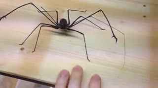 گاز گرفته شدن توسط عنکبوت یوفرینیکوس امانیکا