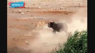 مبارزه یک کرگدن با چند شیر