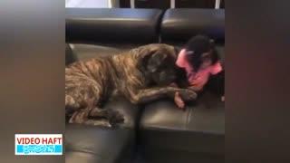 دوستی سگ و شامپانزه!