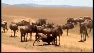فیلم مستند حیات وحش افریقا  hd