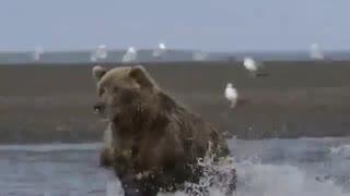 حیات وحش خرس و ماهی خوری