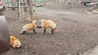 دعوای بین روباه ها رو دیده بودین؟