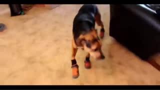 واکنش خنده دار سگ به کفش هایش !