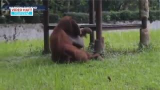 تعطیلی باغ وحش به خاطر انتشار ویدئوی سیگار کشیدن اورانگوتان