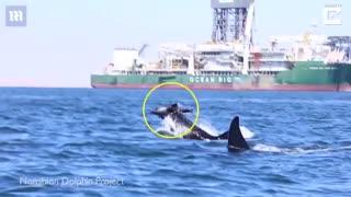 حمله دو نهنگ قاتل به یک دلفین در سواحل نامیبیا