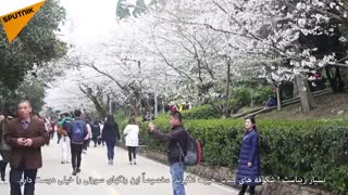 آغاز فصل شکوفههای گیلاس در چین