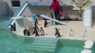 پنگوئن های بانمک