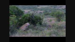 حمله شیر غافلگیرانه به زرافه در حیات وحش افریقا