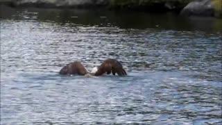 شنا کردن عقاب پس از ماهیگیری