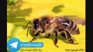 گروه تلگرام زنبورداران همراه کانال تلگرام زنبور عسل