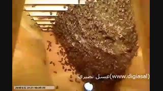 زنبور عسل چگونه موم می سازد؟
