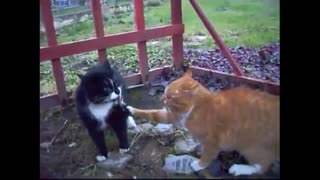 دعوای شدید دو تا گربه به خاطر دوست دختر (دوبله _ کلیپ رحمان)