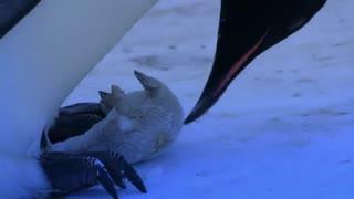 لحظه احساسی عکس العمل پنگوئن ماده به مرگ فرزندش