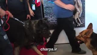 برترین سگ های ایران در نمایشگاه بین المللی اسب و سگ و پت ایران charpa.ir