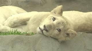 رونمایی از شیرهای سفید در باغ وحش