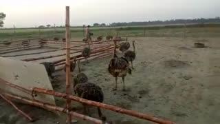 فیلم اموزش کامل پرورش شترمرغ در  مزرعه پرورش شترمرغ