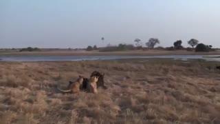 فیلم مستند جنگ شیرها و بوفالوهای افریقایی از حملات متعدد شیرهای افریقایی به بوفالوها تا پرتاب شدن شیر جنگده به هوا توسط بوفالو