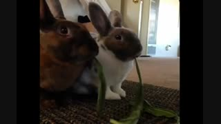 غذا خوردن جالب ۲ خرگوش با هم