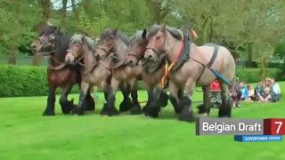 قویترین نژاد اسب ها