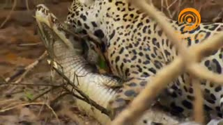 سکانس برتر - شکار تمساح توسط جگوار