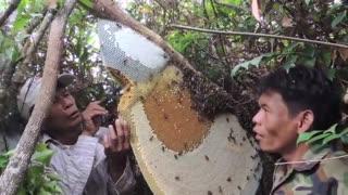 برداشتِ عسل طبیعی جنگلی