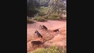 جنگ  پنج به یک سگ و مار کبرا