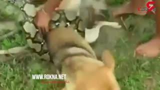 نجات سگ از چنگ مار سمی