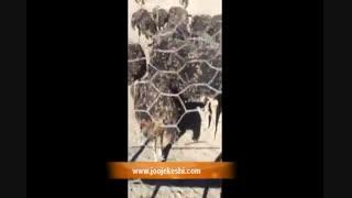 خوردن هندواونه توسط شترمرغ