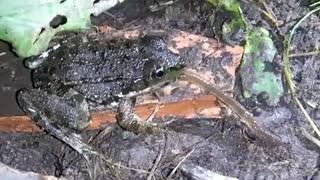 شکار > مکیدن و بلعیدن کرم خاکی توسط قورباغه (کلیپ رحمان)