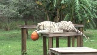 گربه های بزرگ در برابر کدو تنبل