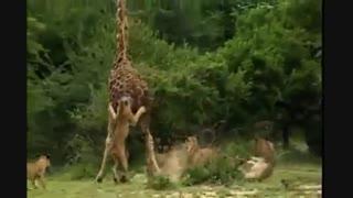 گله شیرهای افریقایی در حیات وحش افریقا زرافه دراز قد را با روشهای عجیبی کشتند و خوردند ببینید