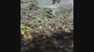 غذا خوردن خرچنگ روی صخره های مرجانی قشم