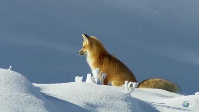 روش جالب و عجیب این روباه برای شکار کردن رو ببنید!!!